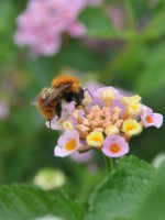 5-cannebeth-protection-environnement-lantana-abeille