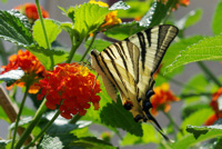 photo papillon sur lantana