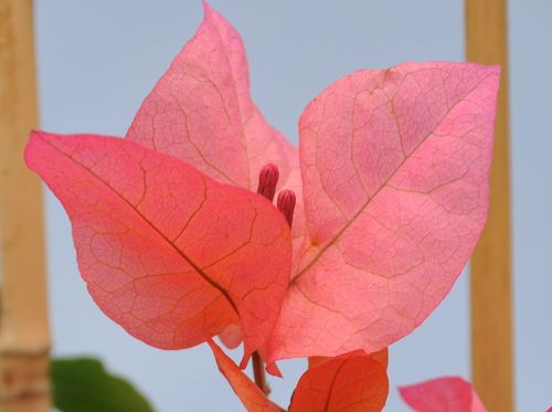 Photo Bougainvillea Kelly Cambell copyright Cannebeth