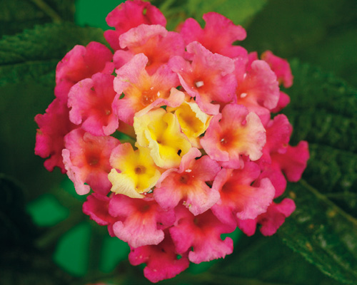 Photo Lantana Bandana rose