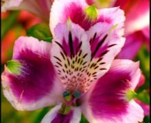 fleur d'alstroemère