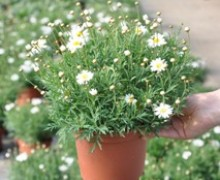 ANTHEMIS Frutescens