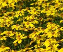 bidens en fleurs