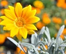 Les plantes du cannebeth - Fleur commencant par t ...
