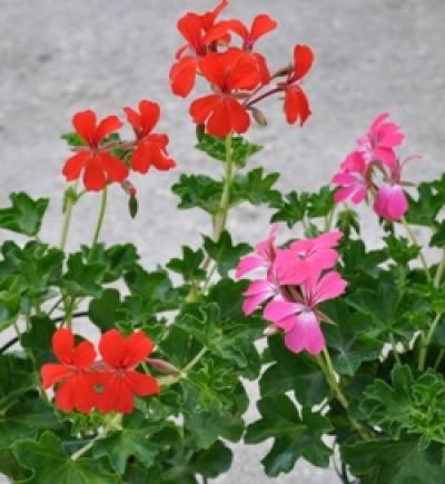 Geranium lierre simple ou lierre double - Geranium lierre double retombant ...
