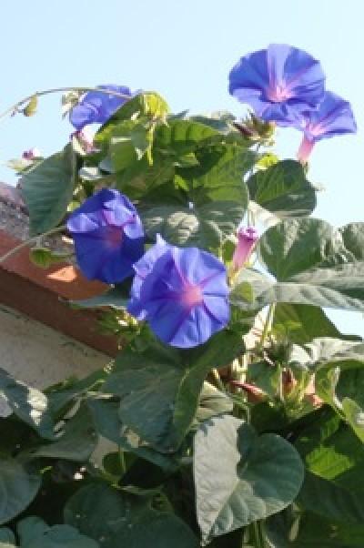 fleurs d'ipomées learii