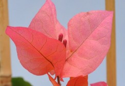 bougainvilier-killie-campbell-2-z