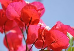 bougainvilier-sandiego-rouge-2-z