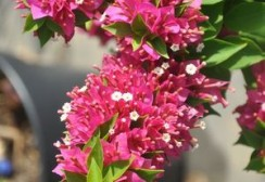 bougainvillea-mini-thai-02