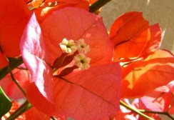 bougainvillea-sandiego-orange-1-z