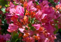 bougainvillier-nain-orange-z