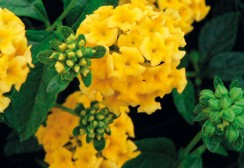 01-CANNEBETH-Lantana-jaune-carpet