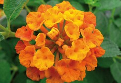 02-CANNEBETH-lantana-orange-carpet