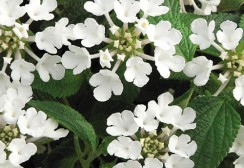 03-CANNEBETH-lantana-Sellowiana-blanc