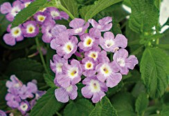 04-CANNEBETH-lantana-Sellowiana-lilas