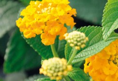 20-CANNEBETH-lantana-pine-apple
