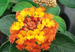 22-CANNEBETH-lantana-sunrise-orange