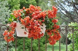 Bougainvillier Flame Cannebeth