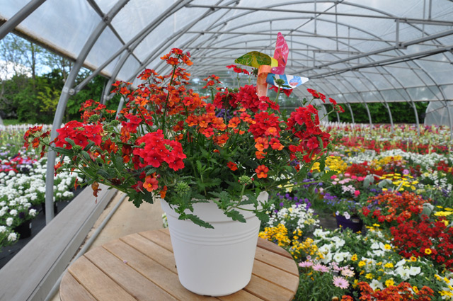 Plante fleurie plein soleil plantes fleuries exterieur - Bicarbonate de soude utilisation au jardin ...