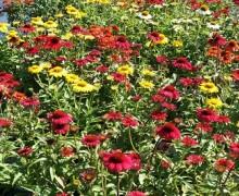 fleurs d'erigeron