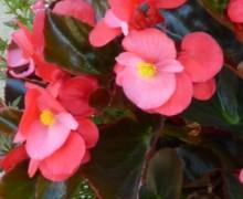 Bégonia big en fleurs