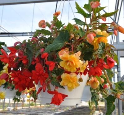 Bégonia retombant en fleurs