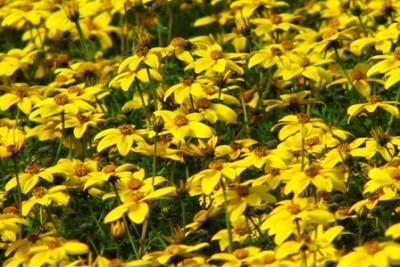 fleurs de bidens