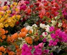 Fleurs de bougainvillea camaieu de couleurs