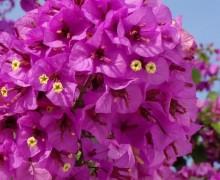 bougainvillier Violet de Mèze en pleine floraison