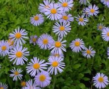 brachycome en fleurs