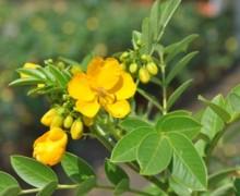 cassia arbuste en fleurs