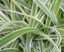 photo chlorophytum
