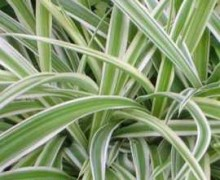 photo chlorophytum