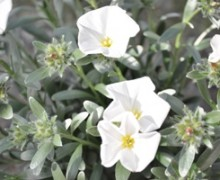 Liseron camélé en fleurs