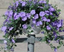 Liseron de mauritanie potée fleurie
