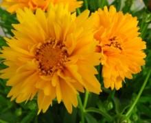 fleurs de coreopsis