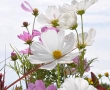 fleurs de cosmos bipinnatus