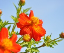 fleur de cosmos sulfureux