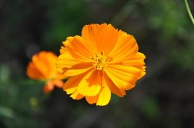 fleur de Cosmos sulfureux botanique