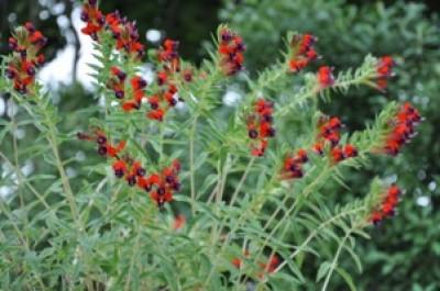 cuphea en fleurs