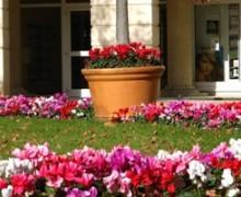 parterre de fleurs de cyclamen