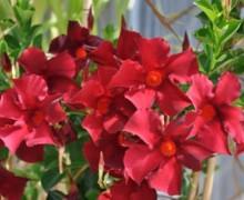 dipladenia en fleurs