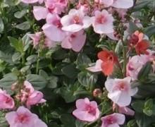 fleurs de diascia