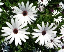fleurs de dimorphotéca rampant