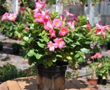 potée de dipladénia en fleurs