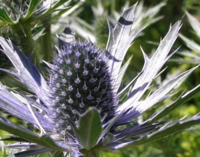 fleur de chardon bleu