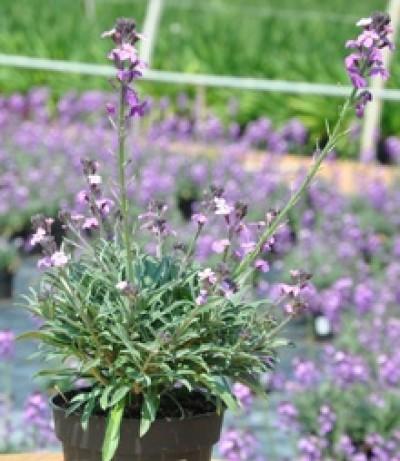 giroflee en fleurs erysimum
