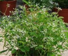 fleurs et potée d'euphorbe hypericifolia