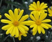 fleurs d'euryops