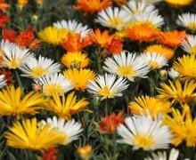 fleurs de ficoides